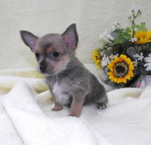 Super Small Puppies Beyond Cute Yorkie X Chihuahua For Sale In