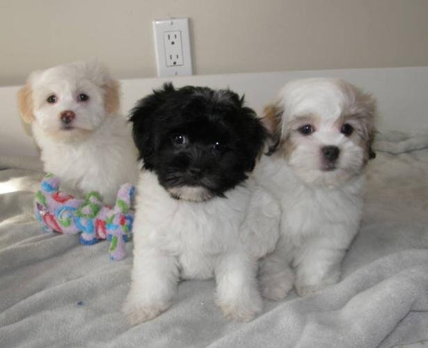 Havanese And X Poodle