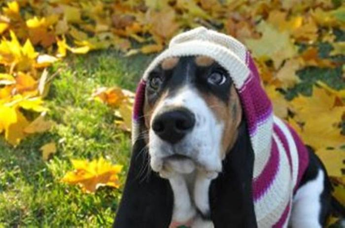 Sweet Basset Hound for sale in Kelowna, British Columbia - Nice Pets