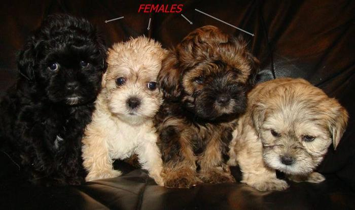 SWEET SHIH TZU/ POODLE PUPPIES AVAILABLE- TORONTO for sale