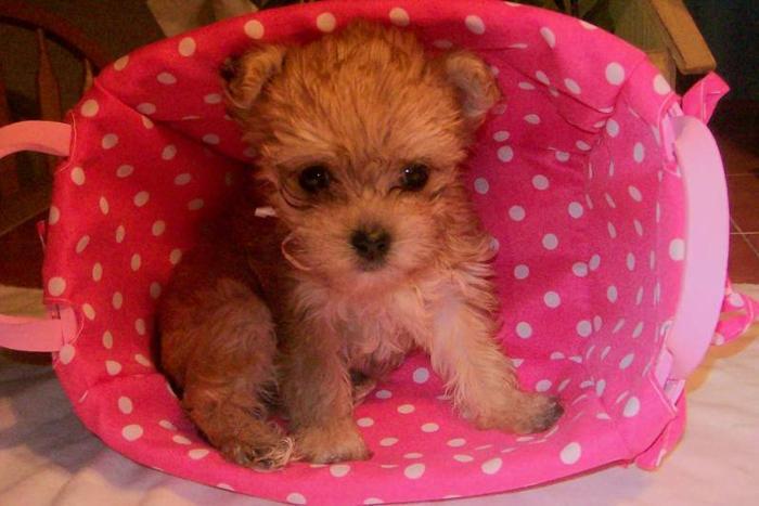 Teddy-Bear MORKIE Puppies!