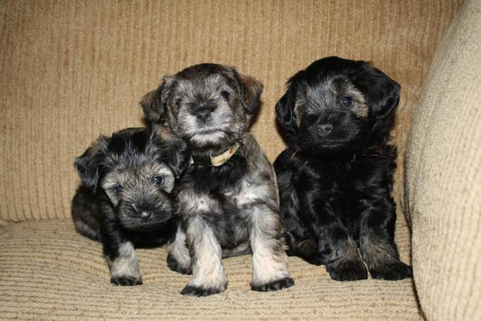 The cutest Schnoodle pups EVER! Watch a VIDEO. Only ONE left