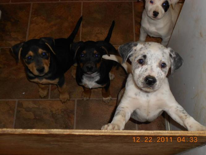 these beautiful blue healer cross /pupps for sale for xmas time!