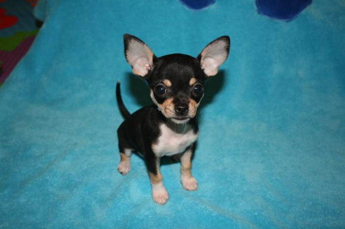 Tiny Applehead Chihuahua Puppies!