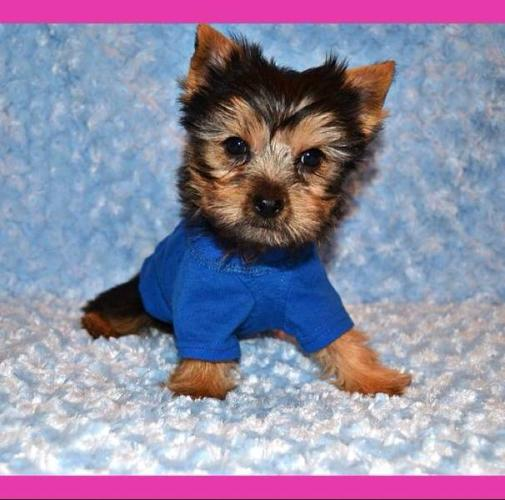 Tiny Toy Male Yorkie! Only 1 Pup Left!!