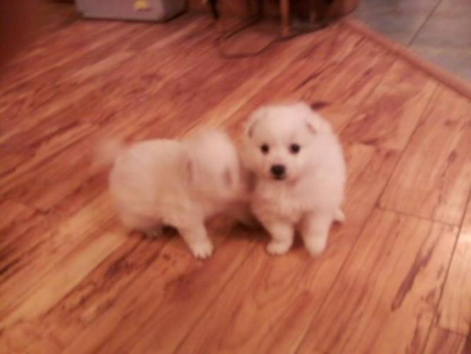 TOY / MINIATURE AMERICAN ESKIMO X PUPPIES FOR SALE