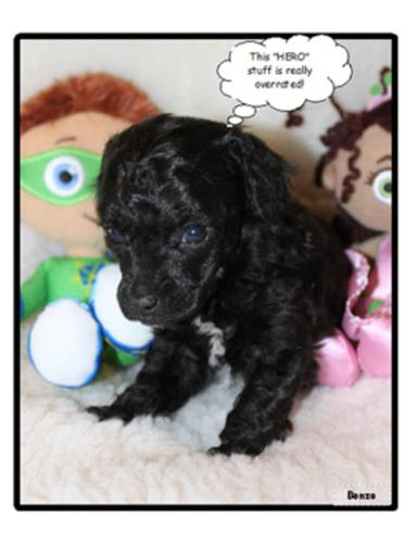 Toy Poodles For Sale For Sale In Regina Saskatchewan Nice
