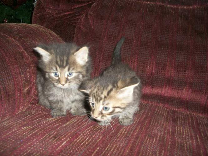 Two beautiful male kittens