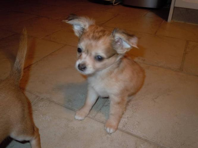 Unique Purebred Chihuahua's now ready