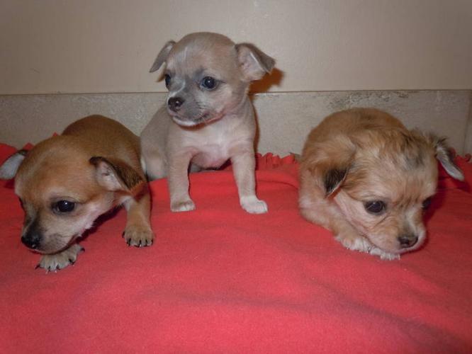 Unique Purebred Chihuahua's ready Nov 11