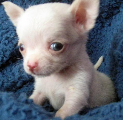 UNIQUE TINY Chihuahua Puppies TOP QUALITY GUARANTEED