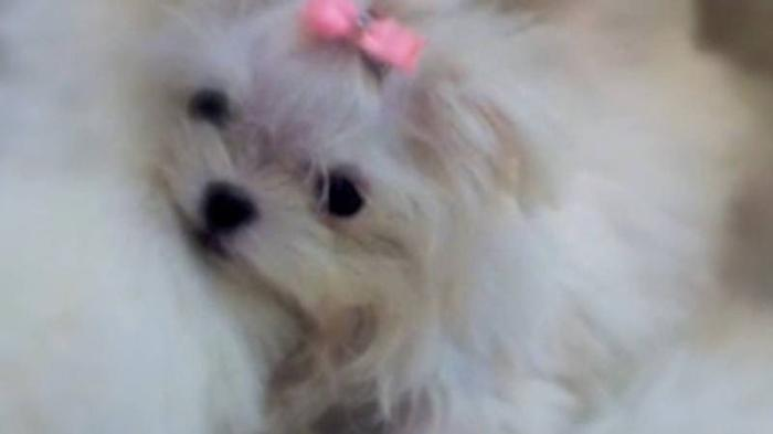 VERY TINY FEMALE MALTESE