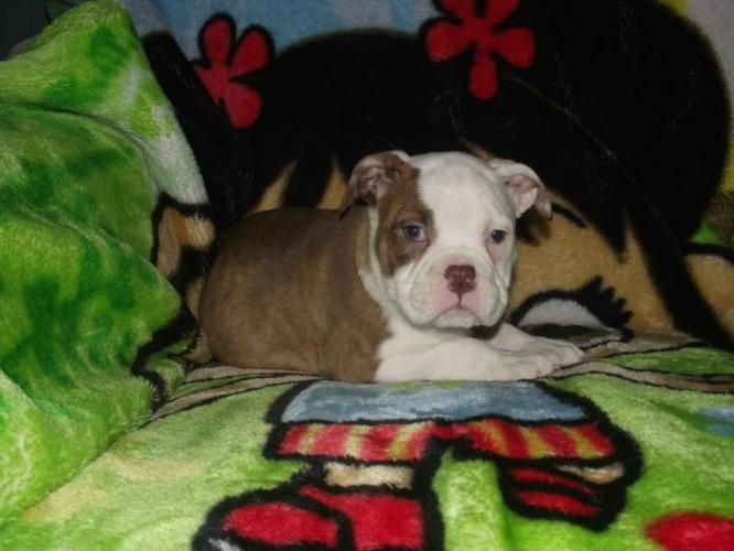 VICTORIAN BULLDOG PUPPIES for sale in London, Ontario - Nice Pets Online