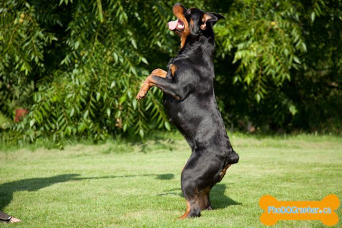 Von Wadge Rottweilers - See the difference quality is !