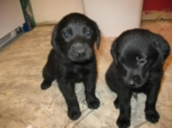 Wanted: For CKC REG' puppy