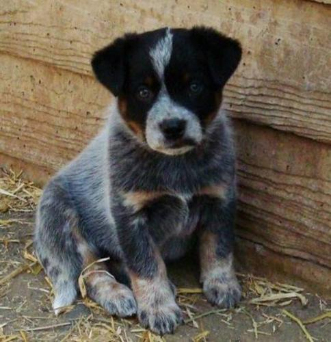 Wanted: large breed puppie