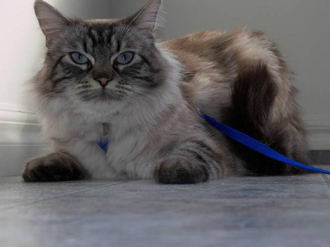Wanted: Lost Siamese/Tabby Cross Cat