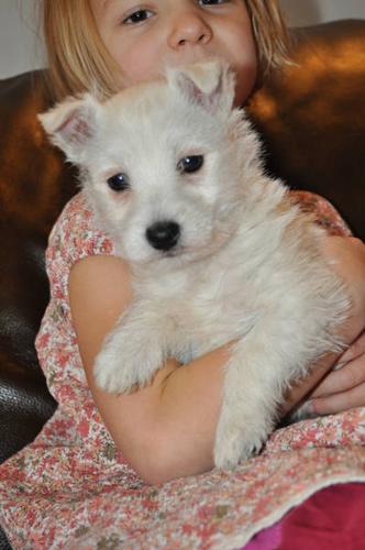 West Highland Terrier Puppy! Westie!