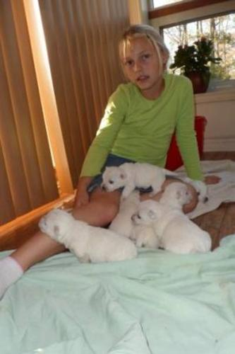 west highland white terriers westies westie puppies for sale