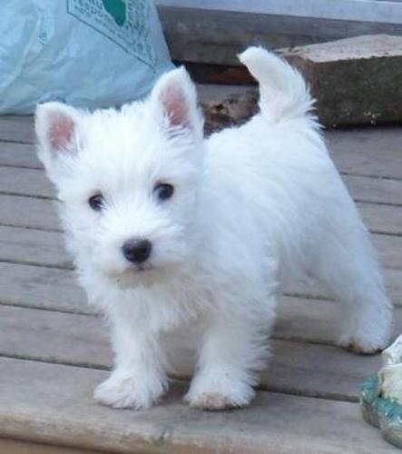 westie puppies west highland white terriers westies westie pups