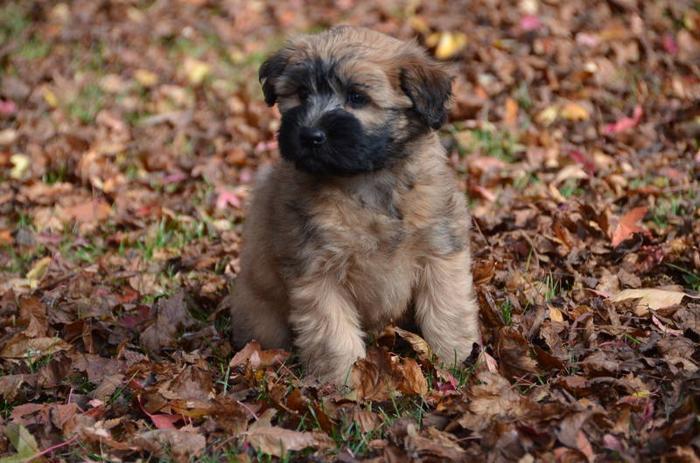 Wheaten pups for sale in Rosthern, Saskatchewan - Nice Pets