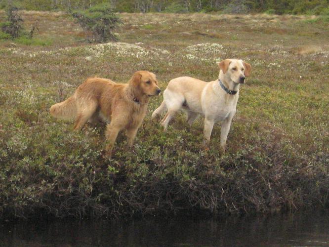 Yellow Lab/Golden Retriever Cross Puppies