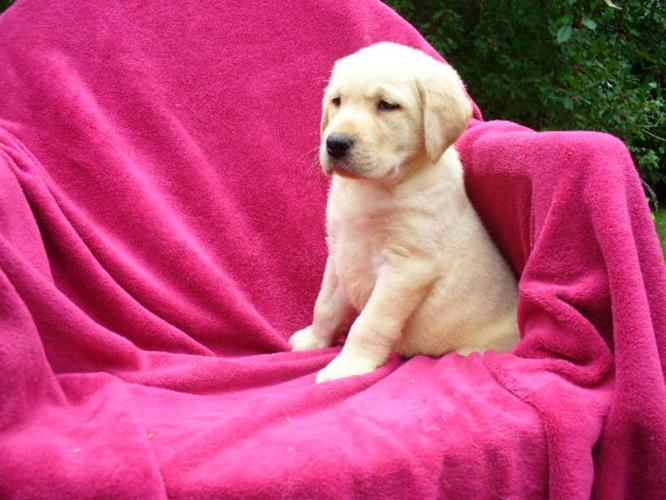 Yellow Labrador Registered Puppies