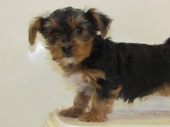 Yorkie Poo For Sale In Mississauga Ontario Nice Pets Online
