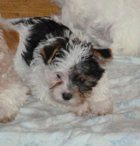 yorkie yorkshire puppies of color biewers for sale in