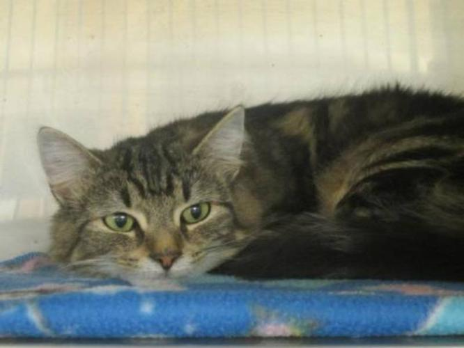 Young Female Cat - Domestic Long Hair: