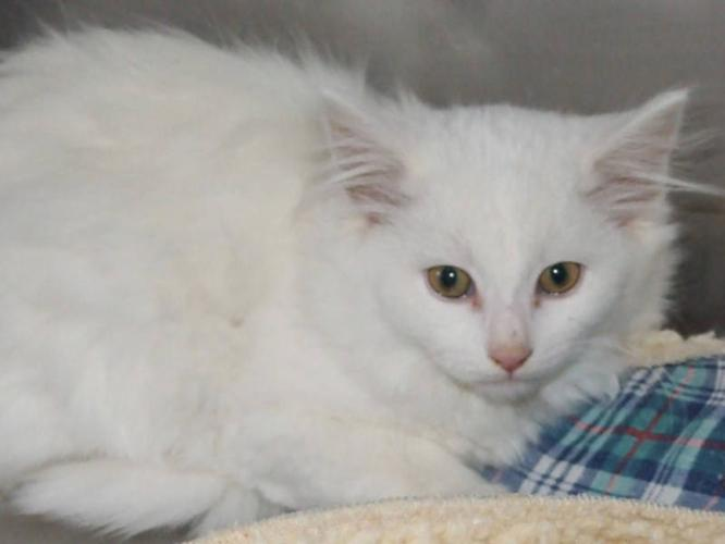 Young Female Cat - Domestic Long Hair-white: