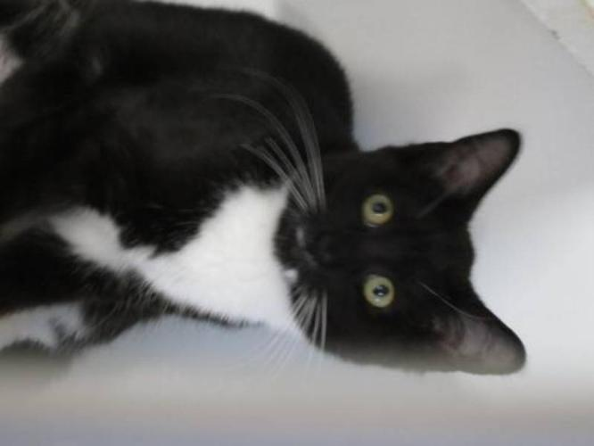 Young Female Cat - Domestic Short Hair:
