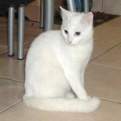 Young Female Cat - Domestic Short Hair-white: