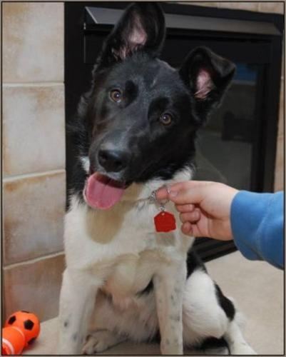 Young Female Dog - Border Collie Shepherd: