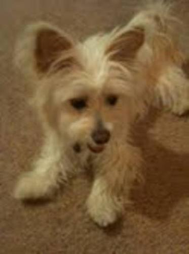 Young Female Dog - Cairn Terrier: