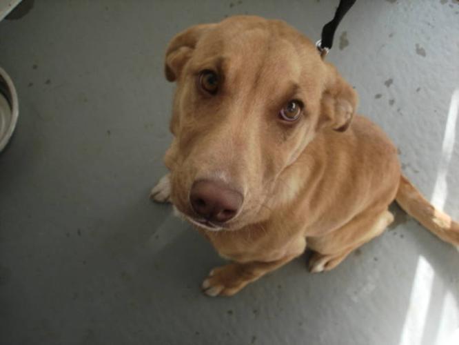 Young Female Dog - Labrador Retriever: