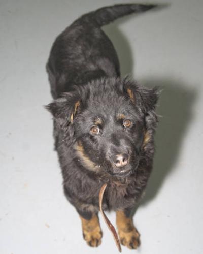 Young Female Dog - Rottweiler Husky: