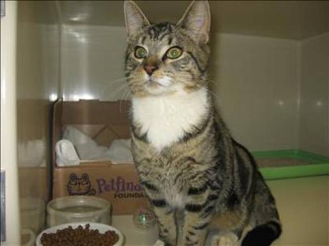 Young Male Cat - Domestic Medium Hair:
