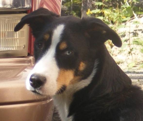 Young Male Dog - Bernese Mountain Dog Husky: