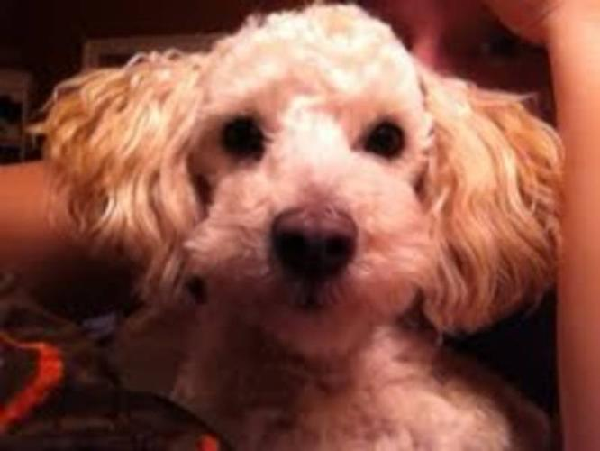 Young Male Dog - Poodle: