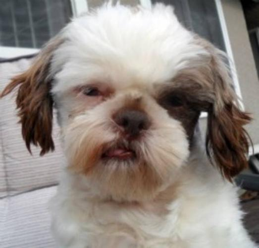 Young Male Dog - Shih Tzu