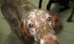 SWEET MALE 10 MONTH OLD ENGLISH SETTER. GREAT PUP WITH A LOT OF LOVE TO GIVE. NEEDS TO HAVE A SAFE LOVING HOME WHO CAN TEACH HIM THAT HE CAN BE A GREAT DOG. HE HAS A LOT OF ENERGY, AND NEEDS A FAMILY THAT CAN KEEP UP WITH. VERY HAPPY GO LUCKY $250.00