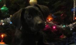 Good disposition, great with cats and other pets, gentle with kids, all around nice puppy, female, black, natural hunter already, has first shots, flea treated, walks well on leash, taking well to house training.  Smart