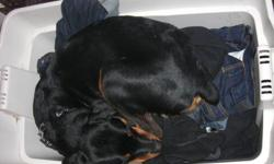 We have an 11 month old female rottweiler. She is a high energy dog with a loving personality, she is still like a big puppy and needs a bit of training. She would be a great dog for a home with a big yard. We are selling her due to the fact that we do