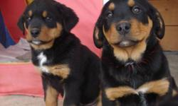 Bernese Mountain dog x Rottweiler pups. 1 female and 1 male left, Very healthy and well socialized pups.