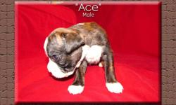 Dal Riata Kennel is proud to offer this fantastic litter of 1/2 European and 1/2 American line AKC registered Boxer puppies.  They will be ready to go on December 4, 2011. We are just so thrilled with this litter of puppies.  They are strong with nice