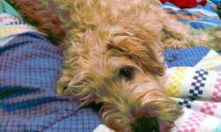 1 well behaved Irish wheaten terrier Breed: Pure bred Irish Wheaten Terrier Age: 6 Years old, D.O.B, April 4th, 2005 Shedding: Non-Shedding, Medical Issues: No medical issues Behavioural Issues: Aggressive towards other dogs Name: Ash A little bit about