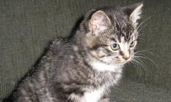 I have 1 adorable kitten left, she is a tabby and very affectionate. She has been mostly outdoors but would transition nicely into an inside kitten. Please contact me with any questions.