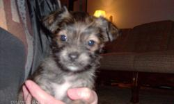 1 male yorkie/chihuahua pup for sale. Will be 8 wks old on Dec 25/11. Will have 1st shot, vet health record & puppy care package. Very smart, cute & active pup!! Call to view after 2 pm on wkdays & anytime on wkends. 604 825 2044