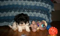 Shih Poo Puppies   Non shedding hypo allergenic approx 10-14 pounds full grown 1 MALE ONLY 1st Vaccinations, No worms, Vet Exam Health Guarantee Puppy Package included.   Puppy is well socialized. trained and has a docile/ watcher personality. He is